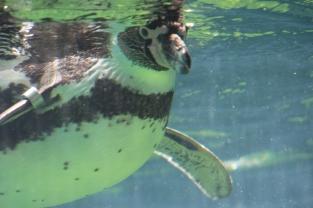 Penguin Under Water